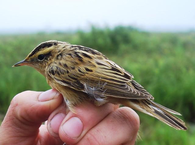Wodniczka - Aquatic Warbler (Acrocephalus paludicola)
