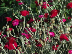 LYCHNIS coronaria Dark Red Form