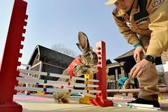에버랜드 토끼 어질리티 (에버랜드 (withEverland)) Tags: animal zoo korea everland 에버랜드 토끼 테마파크 놀이공원 2011년 신묘년 토끼어질리티