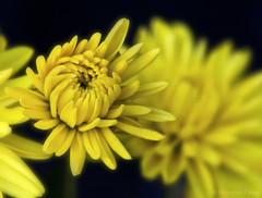 Imaginations (bijoyKetan) Tags: flower macro colors yellow ma ketan imaginations tamron70300mm newburtport bijoyketan