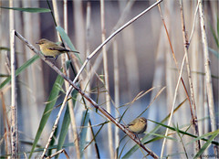 warblers among reeds