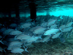 School of Bigeye trevally - Maldives