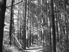 Walkin' in the Shadows (Javcon117*) Tags: county trees shadow summer bw sun sunlight tree sunshine walking blackwhite md maryland sunny away tall allegany flintstone lined rockygapstatepark javcon117 frostphotos