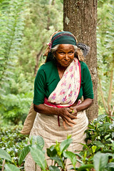 Sri Lankan tea picker (Umbreen Hafeez) Tags: asia tea ella sri lanka lankan picker