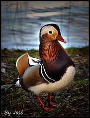 El Pato Mandarn / The duck Ma