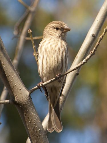 House Finch-female
