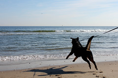 Dancing the Tide ([-Sherri-]) Tags: dog beach nature water ball happy virginia dance jump mare sam atlantic shore vabeach virginiabeach rottie leap rottweiller brooks sherri sampson holidaysvacanzeurlaub