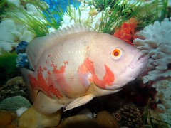 Tiger Oscar Fish by Rameshng, on Flickr