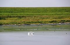 Witte Zwanen (Omroep Zeeland) Tags: witte zwanen