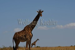10077399 (wolfgangkaehler) Tags: 2016africa african eastafrica eastafrican kenya kenyan masaimara masaimarakenya masaimaranationalreserve wildlife grassland grasslands masaigiraffe masaigiraffegiraffacamelopardalis masaigiraffegiraffacamelopardalistippelskirchi giraffe giraffes