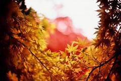 spangles (moaan) Tags: life leica november autumn red color 50mm gold glow dof bokeh diary f10 momiji japanesemaple kobe utata rokko glowing noctilux m3 hue tinted 2010 brightyellow fujivelvia100 tinged rvp100 goldenyellow leicam3 autumnaltints goldendays inlife gloriousdays leicanoctilux50mmf10 diaryofnovember gettyimagesjapanq1 gettyimagesjapanq2