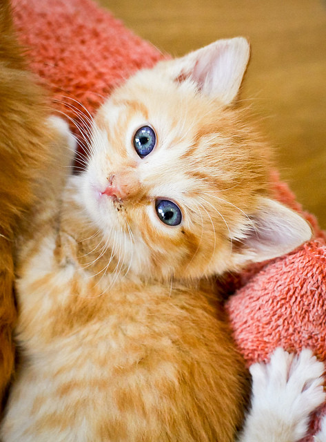 cute ginger kitten foster