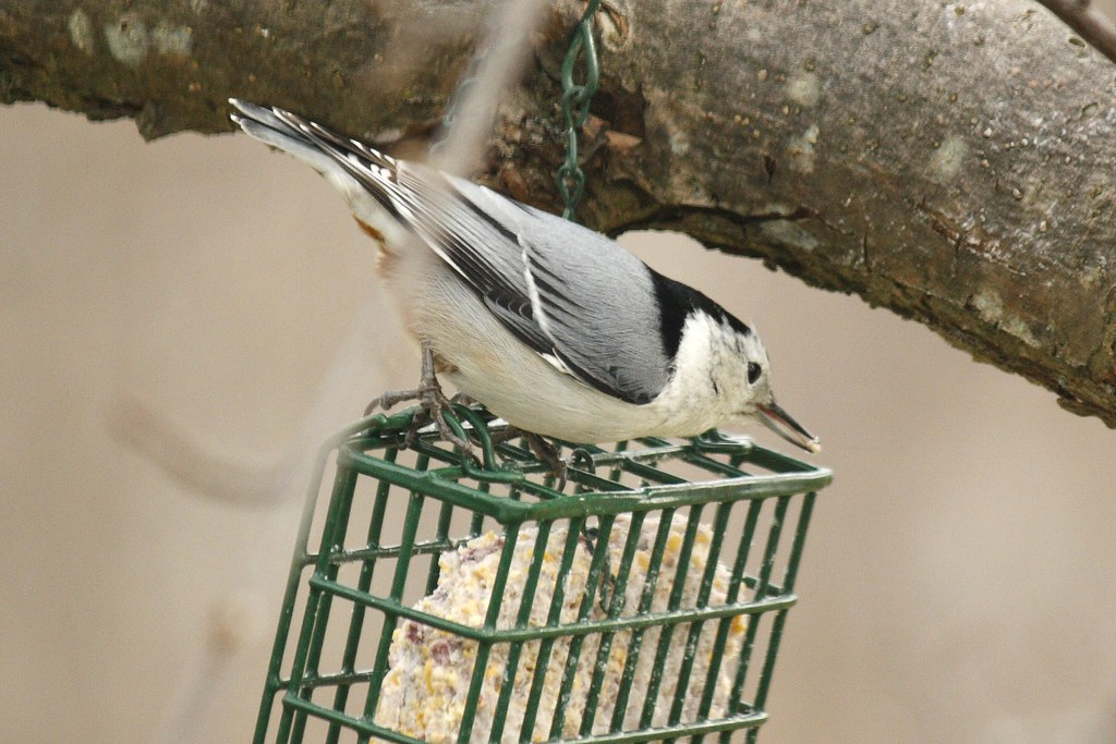 White-breasted nuthatch (7)