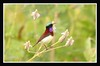Crimson backed Sunbird(Leptocoma minima ) (Gurusan2010) Tags: westernghats crimsonbackedsunbird leptocomaminima