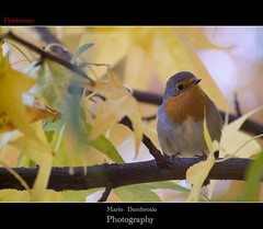 Pettirosso (Mario Dambrosio ) Tags: golf autunno bosco pettirosso wildbird fujis3 nikkor70300 flickraward supercontest luvinate nikonflickraward ucceldibosco flickrtravelaward