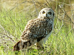 Coruja do nabal - Asio flammeus - Short Eared Owl (Jose Sousa) Tags: wild naturaleza bird portugal nature birds animal animals fauna wildlife natureza birding feathers birdsinportugal avesemportugal natura aves ave animales animaux animais birdwatching avesdeportugal animalia avian oiseaux avifauna birdwatcher selvagem penas vidaselvagem shortearedowl asioflammeus greatnature pontadaerva corujadonabal portoalto portugalnature birdsfromportugal avesjsousa