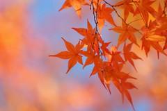 (nobuflickr) Tags: autumn flower nature japan kyoto autumncolors  thekyotobotanicalgarden