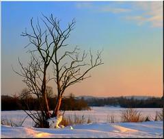 December light (Signe09) Tags: light snow tree snowy rosylight treeinthesnow