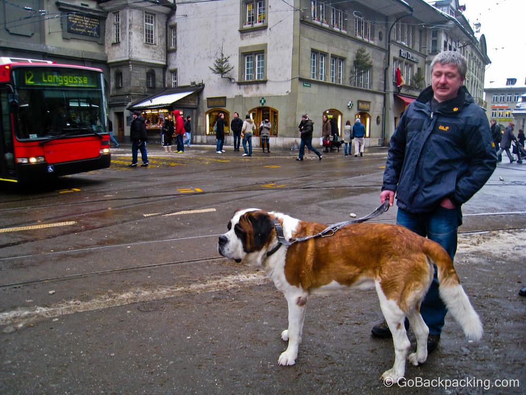 Saint Bernard in Bern, Switzerland