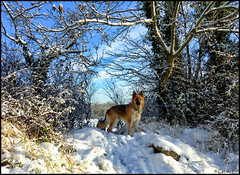 A Walk in the Snow (Cat-Art) Tags: dog snow december northernireland finn catart catart~catrionashatwell catrionashatwell~northernireland catart~northernireland catrionashatwell~catart~ireland wwwdoublevisionimageswebscom