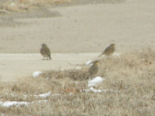 far away Horned Larks