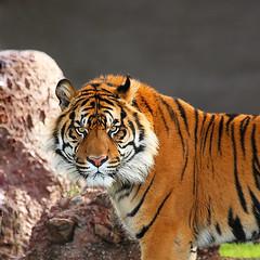 Jai Sumatran Tiger! (gbrummett) Tags: phoenix zoo jay tiger jai sumatran canoneos5dmarkiicamera grantbrummett canonef1004004556lisusmzoomlens