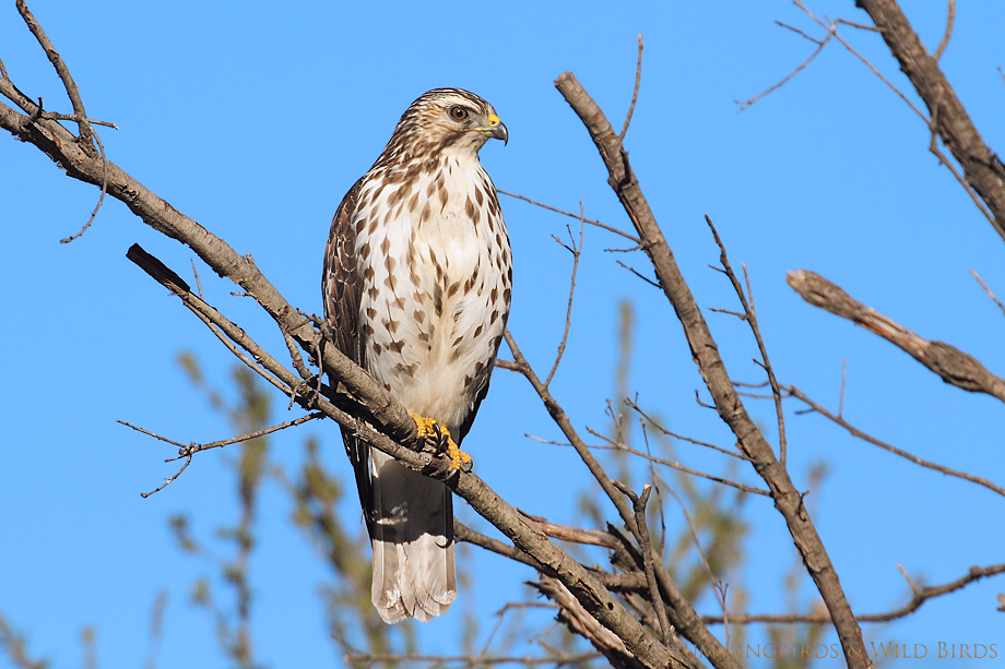 Broad-winged-Hawk-121016