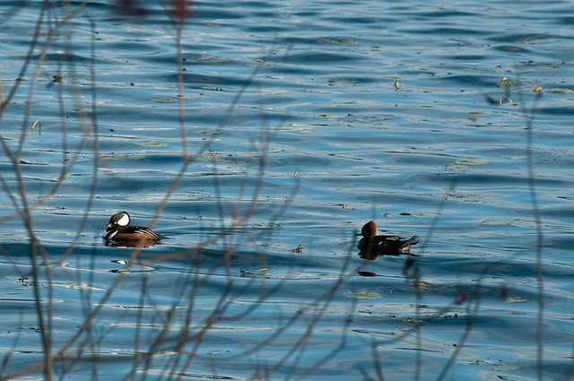 Male (L) and Female (R) Hooded Merganser (Lophodytes cucullatus)