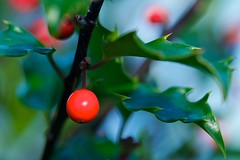 And a Happy New Year (Broot - Thanks for a half million views!!) Tags: christmas autumn plant macro fall nature closeup garden berry december bokeh maine holly tenantsharbor