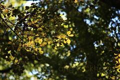 Mamangi. Coprosma arborea. (nznatives) Tags: summer leaf nz upshot nznative northlandnz puketiforest mamangi coprosmaarborea natureloop