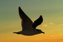 Seagull at Sunset (Spice  Trying to Catch Up!) Tags: trip travel november light sunset shadow vacation sky holiday color bird art nature animal japan canon photography eos flying photo wings asia flickr colours image seagull spice flight picture     matsushima  2010 miyagiken              canoneos7d saariysqualitypictures