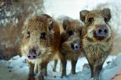 (~Liliana) Tags: winter snow animals boar textured boars gdask oliwa