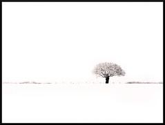 tree in snow (Mark Twells) Tags: thattree