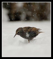 Starling in the Somerset snow! (Levels Nature) Tags: uk england white snow nature garden starling somerset snowing westonzoyland topshots natureselegantshots saariysqualitypictures carlsbirdclub