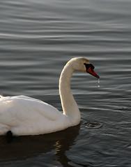 la goutte au bec (_wysiwyg_) Tags: swan cygne