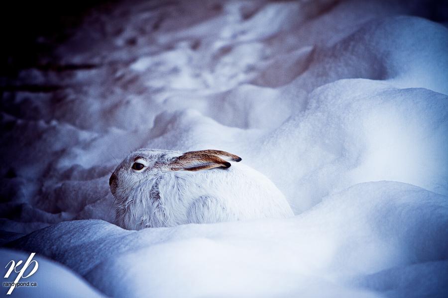 ~ 354/365 Snow Rabbit ~