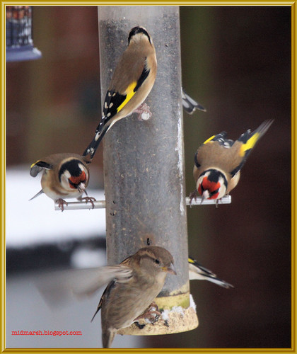 Goldfinches and House Sparrow