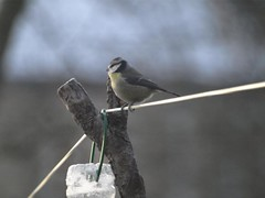 PC218510 (George Peck) Tags: morning blue winter snow macro bird nature beautiful garden squirrel december advent tit tits great olympus originals telephoto feed coal feeders zuiko blackbird greedy e510