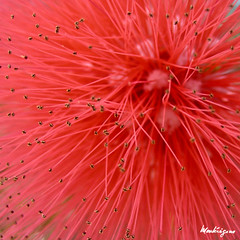 Red Dwarf Powder Puff flower (monteregina) Tags: flowers red plants canada abstract macro closeup fleurs rouge flora quebec patterns centre center stamens textures forms pollen shrub fabaceae plantae puffball forme flore ponpon fairyduster abstractnature powderpuff mimosaceae calliandrahaematocephala redpowderpuff fillframe rosecascade monteregina tropicalshrub reddwarfpowderpuff