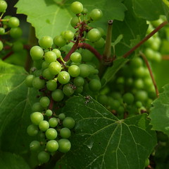 Szl, Grape (Zoltn Wiesner) Tags: grape friut gymlcs szl