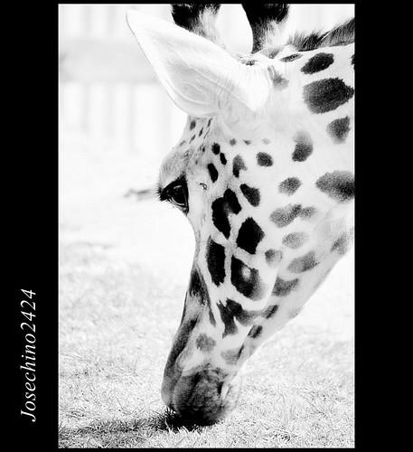 Perfil de jirafa.