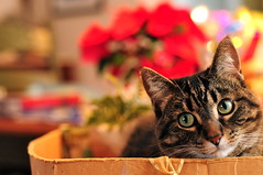 warmest christmas wishes. . . (anniedaisybaby) Tags: christmas decorations baby holiday colour cat ribbons feline bokeh box lol tabby sillygirl thelittledoglaughed impressedbeauty shessupervisingthewrappinganddecoratingfromherfavoritechristmasbox shesleptinthereallafternoon