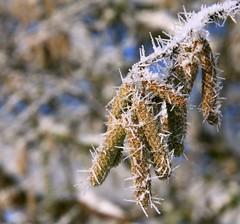 Spiky catkins (:Linda:) Tags: snow germany village hoarfrost thuringia needle catkin raureif weidenktzchen similarto rauhreif brden