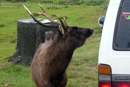 Sambar Deer((Rusa unicolor)
