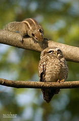 Uncle... So rahe ho? (Sandeep Somasekharan) Tags: bird rodent nikon squirrel funny humorous wildlife sandy owl curious nikkor inquisitive 300mmf4 spottedowlet deepwithin d300s sandeepsomasekharan sandyclix