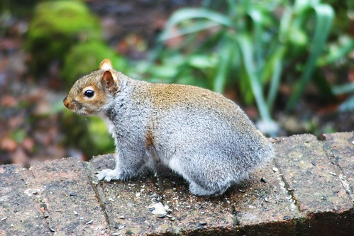 Tail-less squirrel, Glasgow