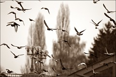 Fly away (TomTompson) Tags: bridge building bird nature water birds sepia austria sony natur upper alpha vgel taube ssm vogel traun tomtom tauben wels o beautifulnature a390 traunbrcke tomtompson 70400 sal70400g dslra390