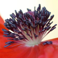 Heart of a Poppy in Profile (LongInt57) Tags: pink flowers red orange white flower macro yellow grey purple blossom blossoms gray stamens pistil stamen poppy poppies bloom blooms stigma pistils stigmas