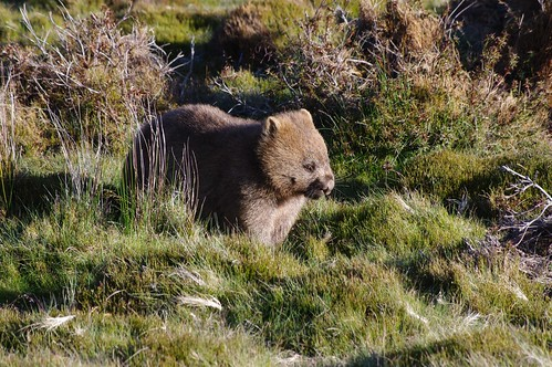 Wombat-Cradle Mountain National Park, Tasmania, Australia