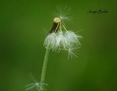 Dente-de-leão (taraxacum officinale) (5939) (Jorge Belim) Tags: flora flor preferida dentedeleão canoneos50d